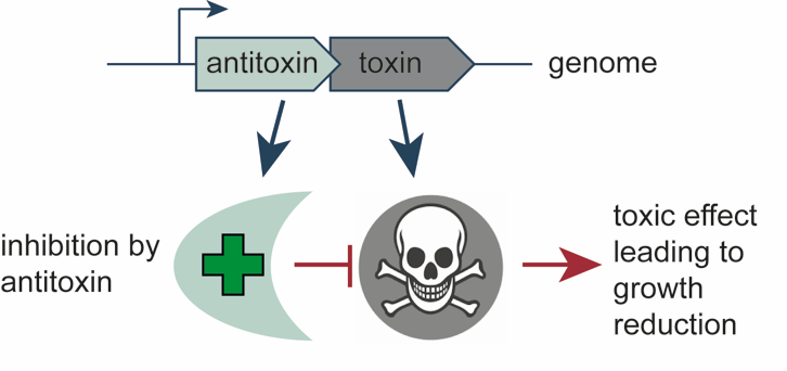 Schematic Illustration of the Antitoxin Toxin System